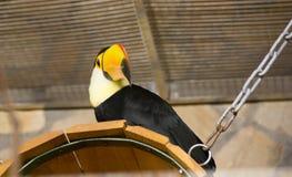 Vogel tukan im Zoo, in der Gefangenschaft Ein Vogel mit einem großen hellen gelben Schnabel Lizenzfreie Stockbilder