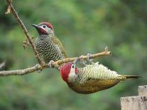 Vogel twee in Ecuador Royalty-vrije Stock Foto's