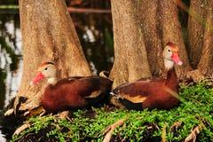 Vogel: Twee het fluiten Eenden Royalty-vrije Stock Foto's