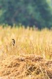 Vogel und Getreidefeld Stockbilder