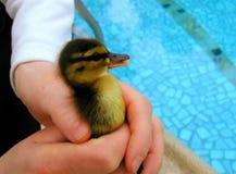Vogel van de baby hield veilig in handen Royalty-vrije Stock Afbeeldingen