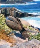 Vogel van de Galapagos Royalty-vrije Stock Afbeeldingen