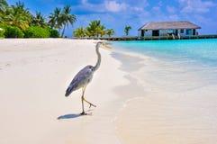 Vogel 7 van de Maldiven Makana Stock Fotografie