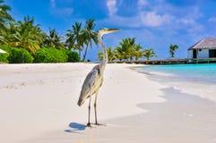 Vogel 8 van de Maldiven Makana Stock Afbeeldingen