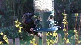 Vogel van de Starlings de voedende voeder stock video