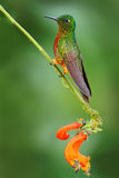 Vogel van Ecuador De oranje en groene vogel in de boskolibrie kastanje-Breasted Kroon, Boissonneaua-matthewsii in het voorste ged Royalty-vrije Stock Foto's