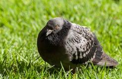Vogel van een Veer Stock Foto's