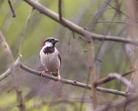 Vogel van India stock fotografie