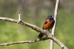 Vogel van Oriole van de de lente de Mannelijke die Boomgaard op een tak wordt neergestreken Royalty-vrije Stock Foto's