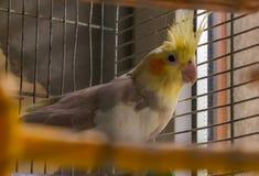 Vogel van papegaai de grijze korella, huisdier, dier, veren, korella, portret, wit, bek, aard Stock Foto's
