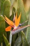 Vogel-van-paradijs bloem stock fotografie