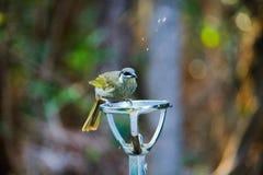 Vogel van suburbia Stock Foto