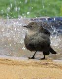 Vogel in vogelbad Royalty-vrije Stock Fotografie