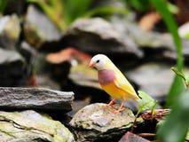 Vogel: Volwassen Vrouwelijke Vink Gouldian Royalty-vrije Stock Fotografie