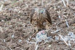 Vogel von beten Falke, der eine Taube isst Lizenzfreie Stockfotografie