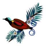 Vogel-vonparadies Wilsons s in der braunen Farbe lokalisiert auf Niederlassung Lizenzfreies Stockbild