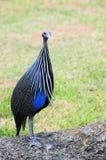 Vogel, Vulturine Guineafowl Lizenzfreies Stockfoto