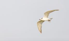 Vogel Whiskered Seeschwalben-(Chlidonias hybrida) Stockbilder