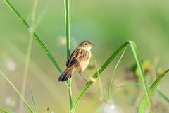 Vogel Zitting Cisticola [Cisticola-juncidis] Lizenzfreie Stockfotos