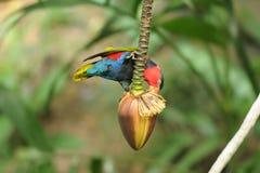 Vogel --- Zwart-afgedekte Lory Stock Afbeeldingen