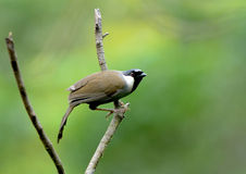 Vogel (zwart-Throated Laughingthrush), Thailand Royalty-vrije Stock Foto's