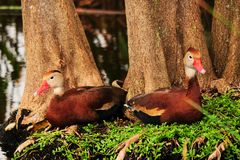 Vogel: Zwei pfeifende Enten Lizenzfreie Stockfotos