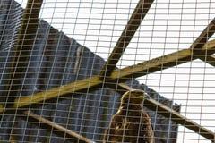Vogeladler hinter Gittern gefangen genommen und eingesperrt Stockbild