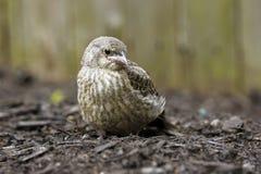 Vogelbaby stockfoto