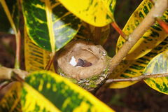 Vogelbaby eben ausgebrütet mit Eierschale im Nest Stockbilder