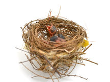 Vogelbaby in einem Nest Lizenzfreie Stockbilder