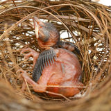 Vogelbaby in einem Nest Stockfotos