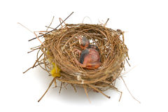 Vogelbaby in einem Nest Lizenzfreie Stockfotos
