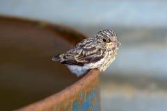 Vogelbaby eines Kuckucks Stockbilder