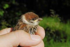 Vogelbaby eines Spatzen in einer Hand stockbild