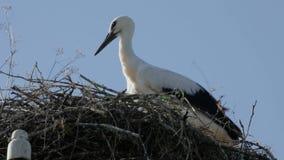 Vogelbaby eines weißen Storchs in einem Nest mit den Federn, die, um sich bewegen nicht zu wickeln stock video