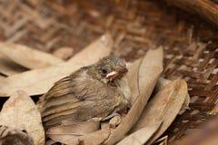 Vogelbaby fällt vom Baum Stockfotos