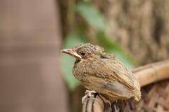 Vogelbaby fällt vom Baum Lizenzfreie Stockbilder