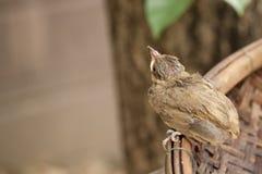 Vogelbaby fällt vom Baum Lizenzfreie Stockfotografie