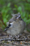 Vogelbaby fiel aus seinem Nest heraus Stockfotos