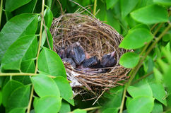 Vogelbabys im Nest des Vogels Stockfoto