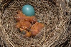 Vogelbabys und gebrochenes Ei stockfotos