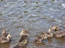 Vogelbabys und Sonnenlicht-Spiel auf Wasser stockfoto
