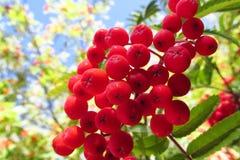 Vogelbeere, rote Ebereschenbeeren auf Baum Stockfotos
