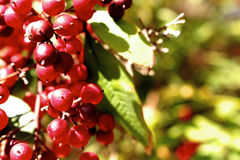 Vogelbeeren. Rowan berry in der Sonne Royalty Free Stock Photos