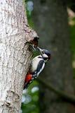 Vogelbos die het kuiken voeden De vogels in de bosspecht bij het nest het mannetje voedt het kuiken Royalty-vrije Stock Foto's