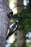 Vogelbos die het kuiken voeden Mamma en de kleine zoon woodpecker Stock Fotografie
