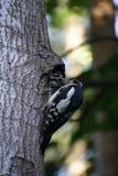 Vogelbos die het kuiken voeden Mamma en de kleine zoon woodpecker Stock Afbeeldingen