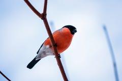 Vogeldompfaff, der auf einer Niederlassung gegen den blauen Himmel sitzt Stockfotos