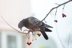 Vogelduif die het fruit van de boom eten stock afbeeldingen
