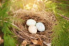 Vogeleier in einem Nest Lizenzfreie Stockbilder